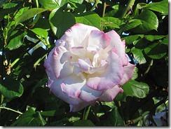 Rose Garden 11